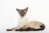 Seal Point Siamese Cat Lying Down