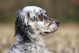 English Setter on Field