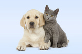 Dog and Cat Yellow Labrador Puppy with Chartreux Kitten