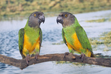 Senegal Parrot Two