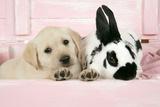 Labrador Retriever Puppy and English Rabbit