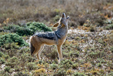 Black-Backed Jackal Howling