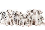Dalmatian Dogs