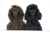 Brown Poodle and Black Poodle with Paws over Ledge