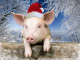 Piglet Looking over Fence Wearing Christmas