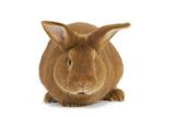 Rabbit 'Fauve De Bourgogne'