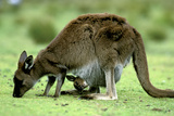 Western Grey Kangaroo Mother Eating Grass with Joey in Pocket