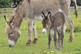 Donkey Adult and 5 Days Old Baby