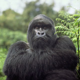 Ape: Mountain Gorilla Silverback Male