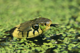 Grass Snake in Duckweed