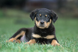 Rottweiler Puppy Lying Down in Grass