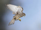 Common Kestrel Hovering