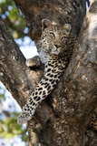 Leopard Resting in Fork of Tree