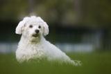Maltese Dog in Garden
