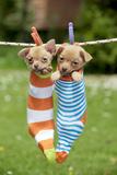 Chihuahua Puppies Hanging in Socks (4 Weeks)