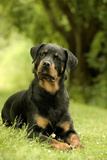Rottweiler Dog Lying on Grass