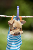 Chihuahua Puppy Hanging in Sock (4 Weeks)