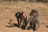 Chacha Baboon Female Offers Herself to Male