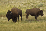 American Bison  Buffalo Male (Large) and Female