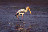 Painted Stork Standing