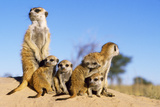 Meerkat Adult Babysitters and Young