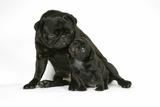 Black Pug with Black Puppy (6 Weeks Old)