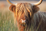Highland Cattle Chewing on Grass