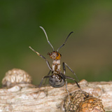 Wood Ant Defence Posture