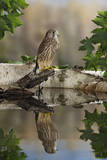 Common Kestrel with Reflection