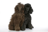 Brown Poodle and Black Poodle
