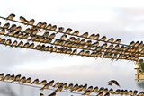 Barn Swallows Massing on Electricity Cables Prior