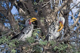 Southern Yellow-Billed Hornbill Pair in Camelthorn