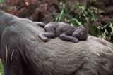 Lowland Gorilla Newborn Female on Mothers Back