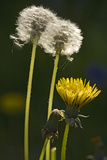 "Dandelion Flowers and Seed-Heads (""Clocks')"