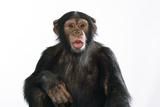 Chimpanzee Showing Lips 'Kissing'