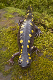 Spotted Salamander in Early Spring Migration