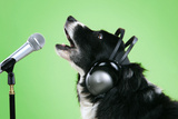 Border Collie Dog with Microphone and Head Phones