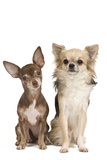 Long-Haired and Short-Haired Chihuahua in Studio