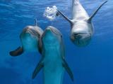 Bottlenose Dolphins, Three Playing Underwater Papier Photo par Augusto Leandro Stanzani