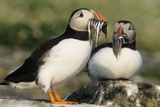 Puffin Two with Sandeels in Beak