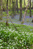 Duloe Woods in Spring with Wild Garlic and Bluebells