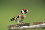 Goldfinch at Bird Table