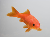 Goldfish  Three Quarter View