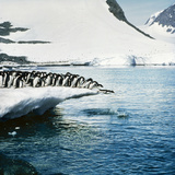 Adelie Penguins Leaping Off Ice