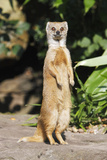 Yellow Mongoose Standing Alert on Back Legs