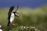 Puffin in Flight About to Land