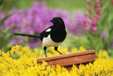 Magpie Perched on Plant-Pot in Garden