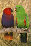Eclectus Parrot Pair