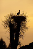 White Stork Single Adult on Nest Silhouetted