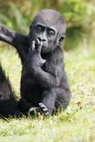 Gorilla Baby Animal Portrait